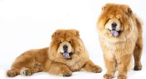 松狮幼犬购买时要注意的陷阱和骗局